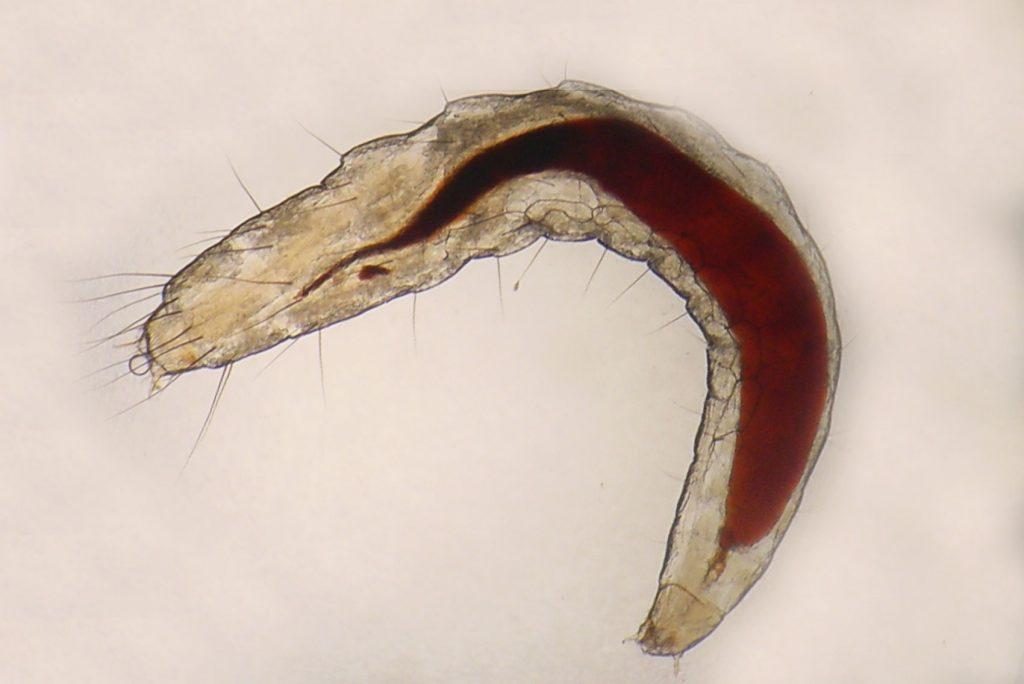Bleší larva