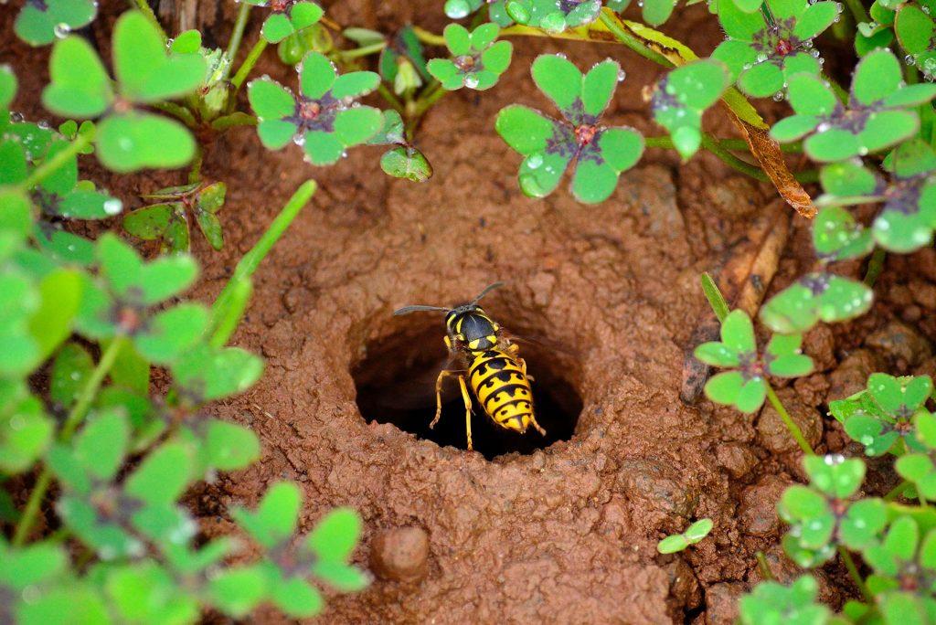 Vosí hnízdo v zemi
