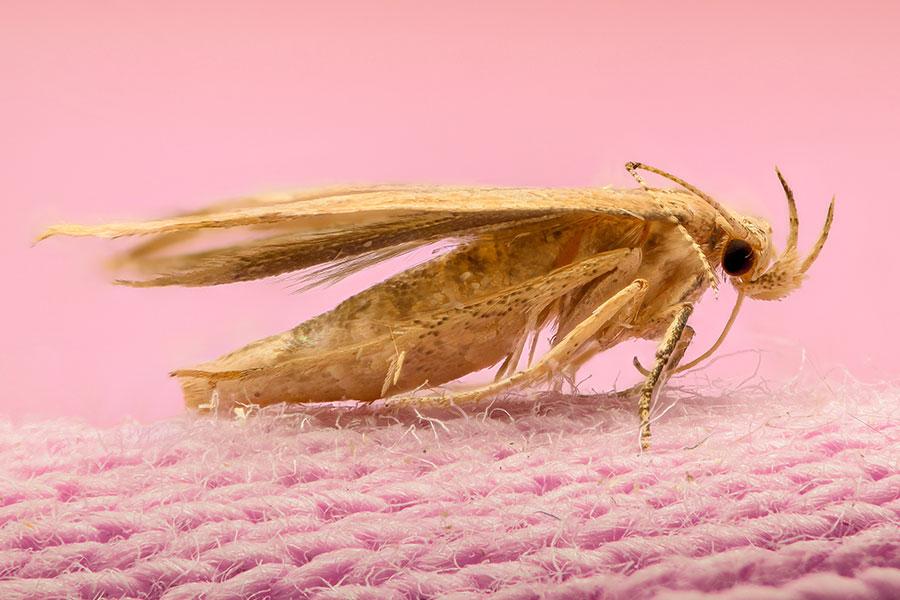 Mol šatní (Tineola bisselliella)