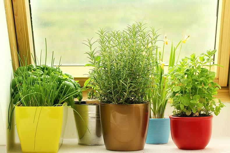 Čerstvé bylinky v květináči na okně
