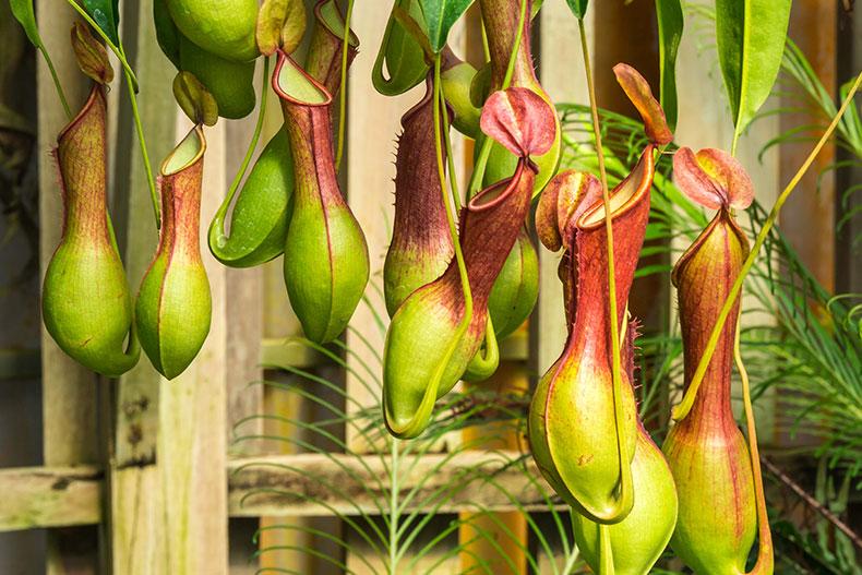 Láčkovka (Nepenthes), masožravá rostlina, kytka, masožravka