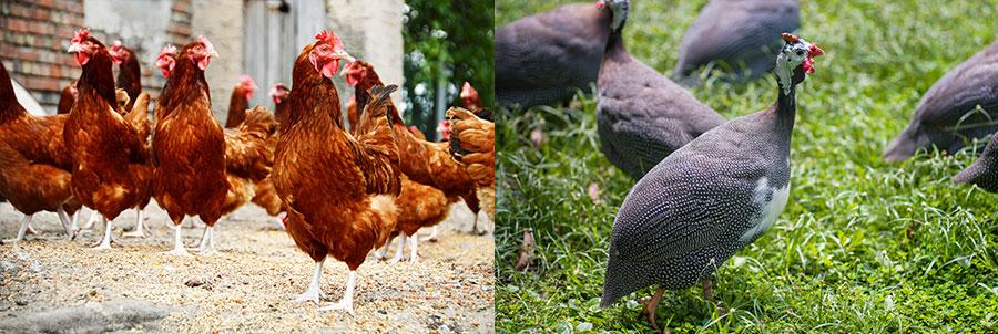 Ochrana před klíštětem pomocí hospodářských zvířat (slepice a perličky)