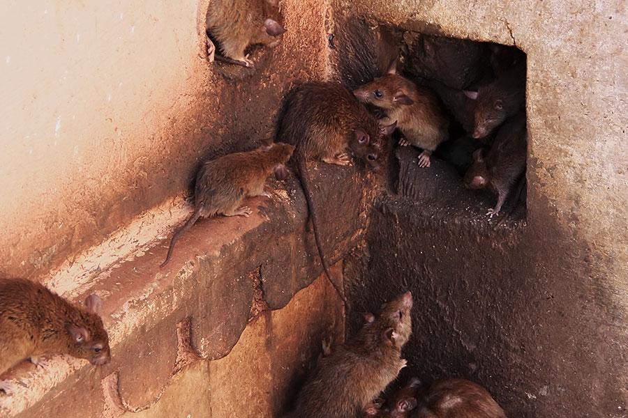 Hlodavci- krysy