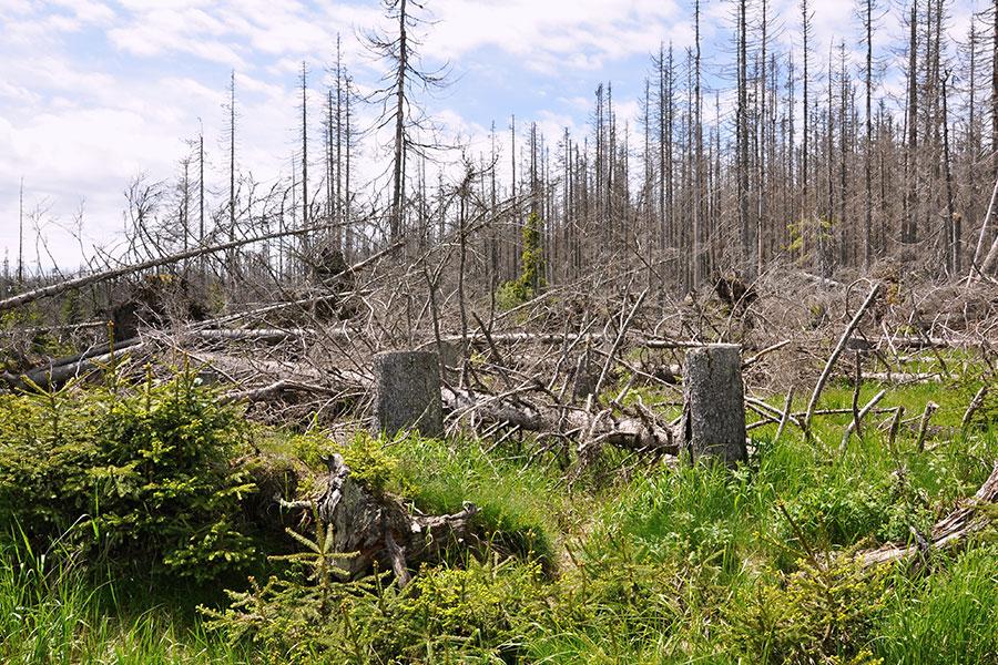 Lesy zničené kůrovcem - lýkožroutem
