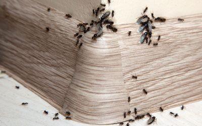 14 způsobů, jak se zbavit mravenců v domácnosti i na zahradě
