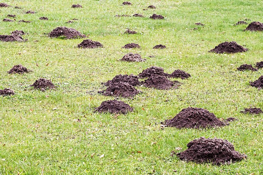 Krtince - Preventivní opatření proti usídlení krtka na zahradě