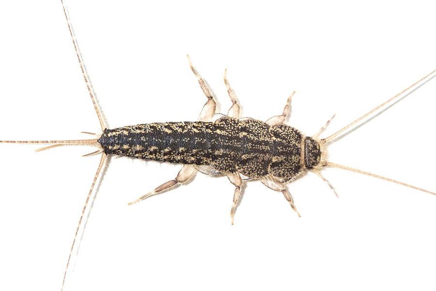 Rybenka domácí - Lepisma saccharina