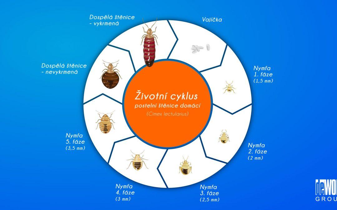 Životní cyklus štěnice domácí (postelní). Vývojové fáze a fotografie